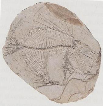 Ittiolite proveniente dalla collezione Procaccino Ricci (Virginio Villani e Mauro Furlani, 2006)